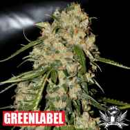 Green Label Seeds Blue Grape Dream